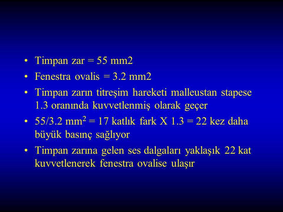Timpan zar = 55 mm2 Fenestra ovalis = 3.2 mm2. Timpan zarın titreşim hareketi malleustan stapese 1.3 oranında kuvvetlenmiş olarak geçer.