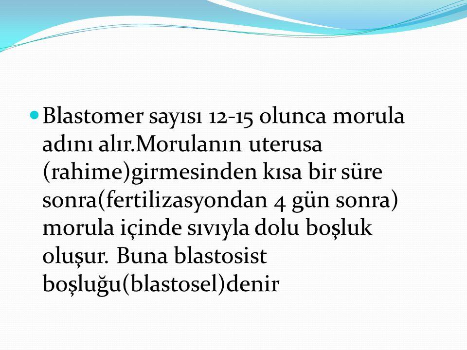 Blastomer sayısı 12-15 olunca morula adını alır