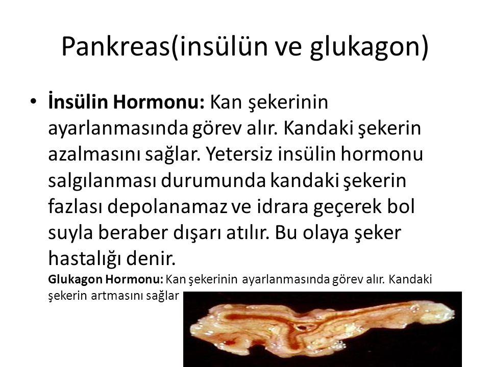 Pankreas(insülün ve glukagon)