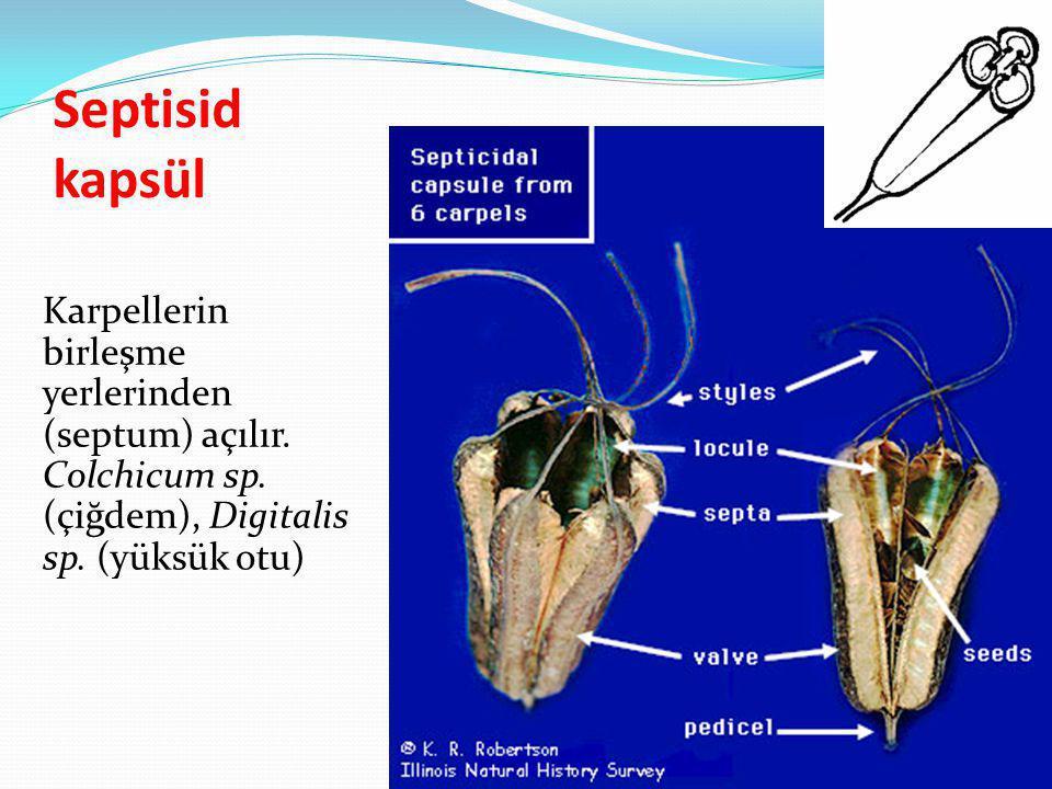 Septisid kapsül Karpellerin birleşme yerlerinden (septum) açılır.