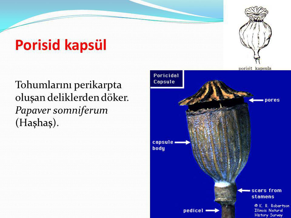 Porisid kapsül Tohumlarını perikarpta oluşan deliklerden döker. Papaver somniferum (Haşhaş).