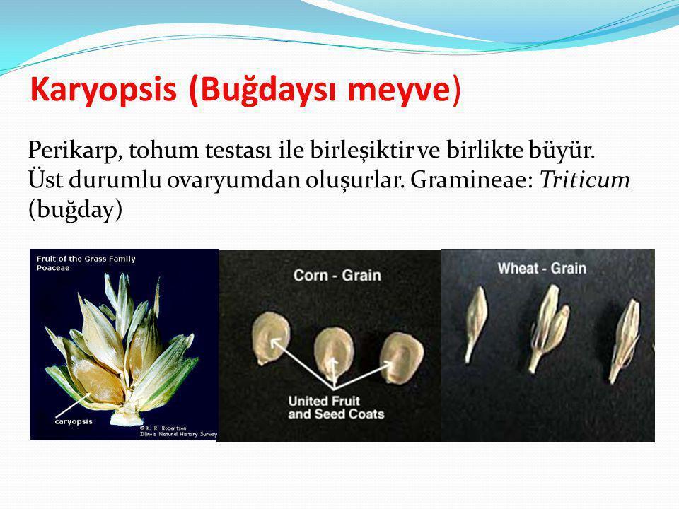 Karyopsis (Buğdaysı meyve)