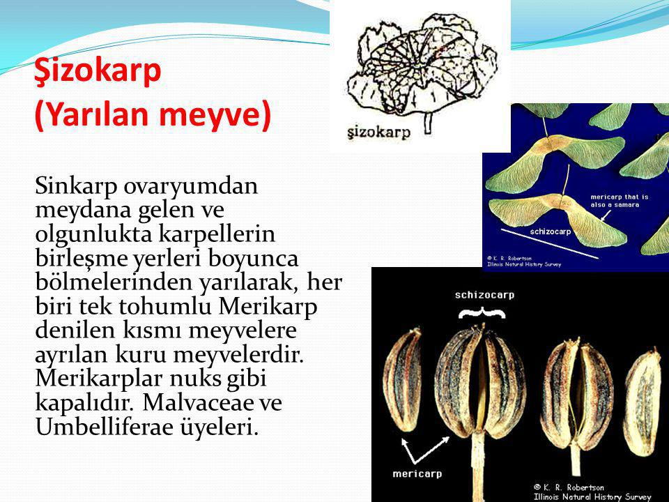 Şizokarp (Yarılan meyve)