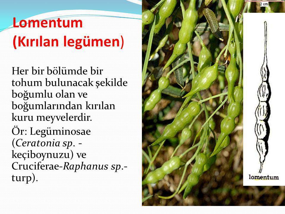 Lomentum (Kırılan legümen)