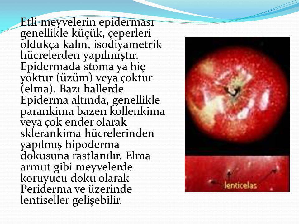 Etli meyvelerin epiderması genellikle küçük, çeperleri oldukça kalın, isodiyametrik hücrelerden yapılmıştır.