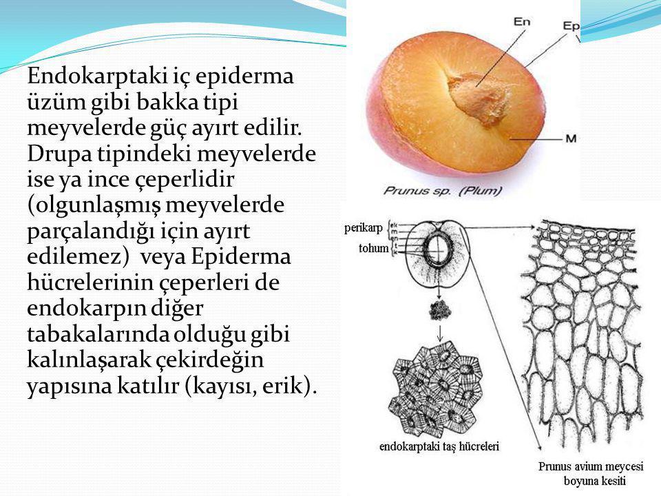 Endokarptaki iç epiderma üzüm gibi bakka tipi meyvelerde güç ayırt edilir.