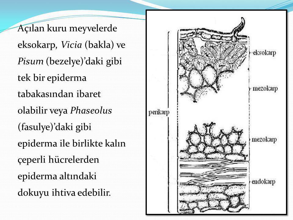 Açılan kuru meyvelerde eksokarp, Vicia (bakla) ve Pisum (bezelye)'daki gibi tek bir epiderma tabakasından ibaret olabilir veya Phaseolus (fasulye)'daki gibi epiderma ile birlikte kalın çeperli hücrelerden epiderma altındaki dokuyu ihtiva edebilir.