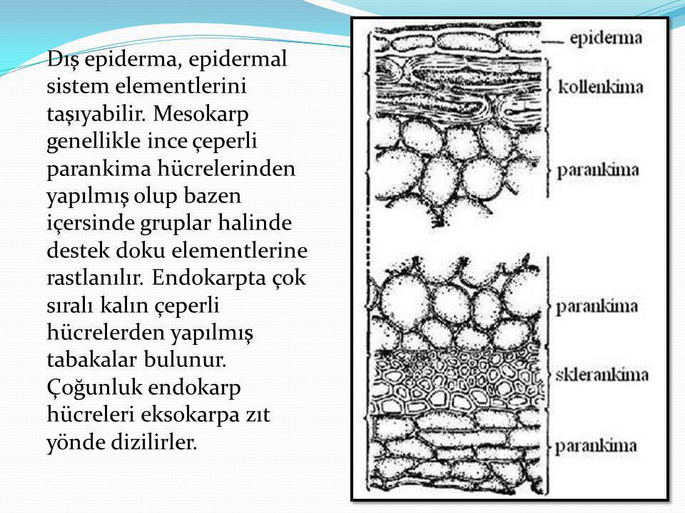 Dış epiderma, epidermal sistem elementlerini taşıyabilir