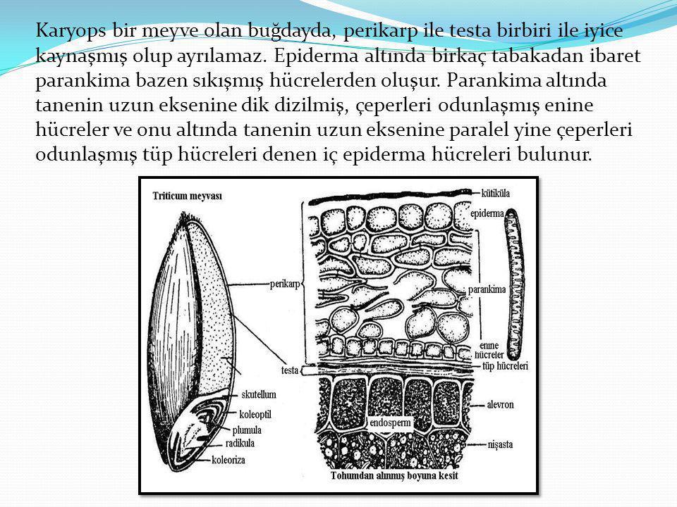 Karyops bir meyve olan buğdayda, perikarp ile testa birbiri ile iyice kaynaşmış olup ayrılamaz.