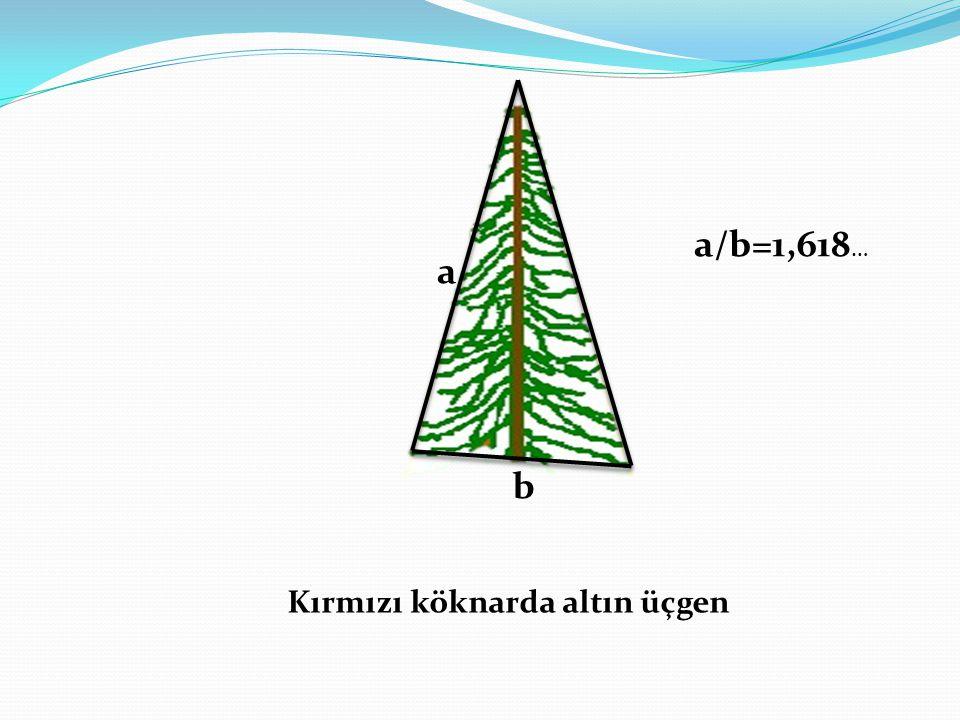 a/b=1,618… a b Kırmızı köknarda altın üçgen