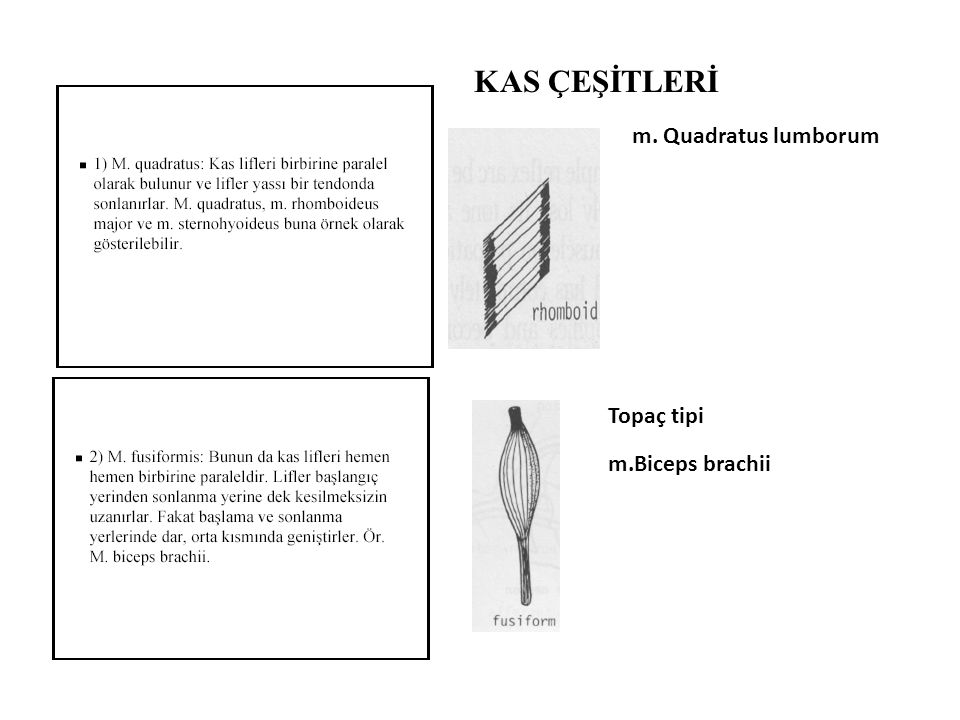 KAS ÇEŞİTLERİ m. Quadratus lumborum Topaç tipi m.Biceps brachii
