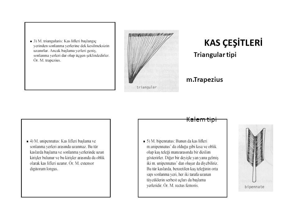 KAS ÇEŞİTLERİ Triangular tipi m.Trapezius Kalem tipi