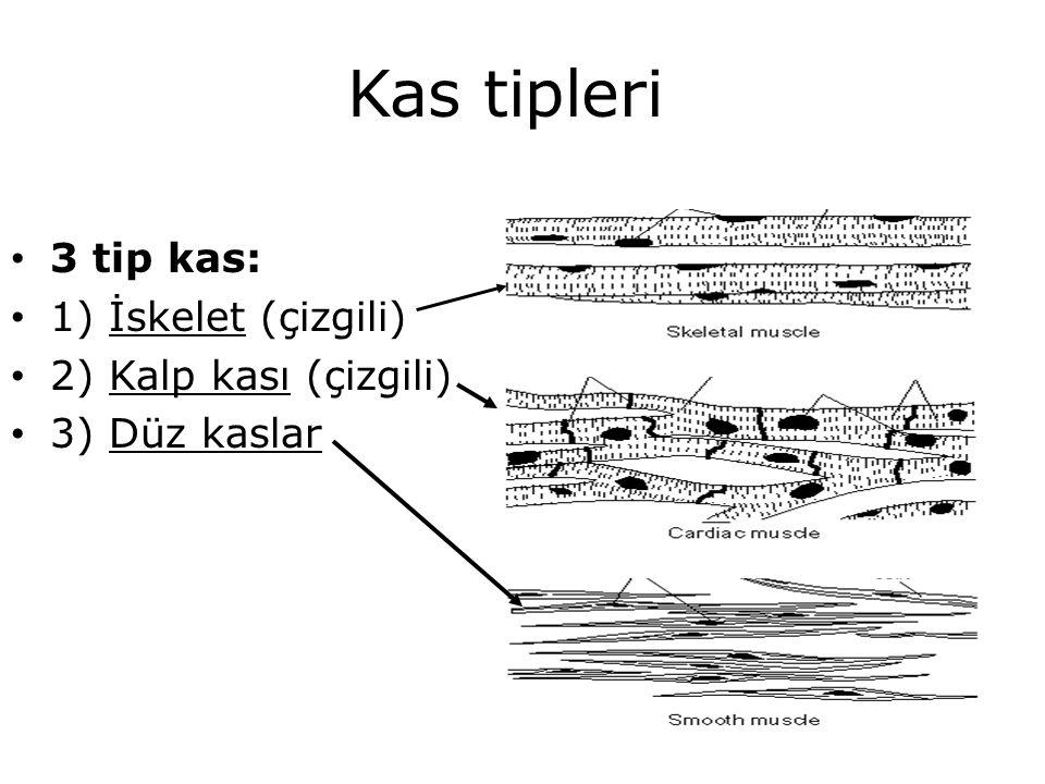 Kas tipleri 3 tip kas: 1) İskelet (çizgili) 2) Kalp kası (çizgili)