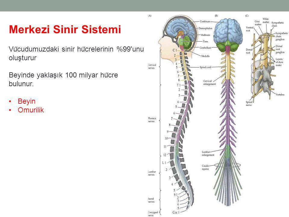 Merkezi Sinir Sistemi Vücudumuzdaki sinir hücrelerinin %99 unu