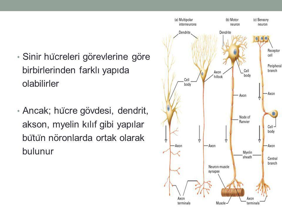 Sinir hücreleri görevlerine göre
