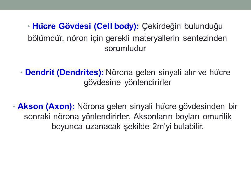 Hücre Gövdesi (Cell body): Çekirdeğin bulunduğu