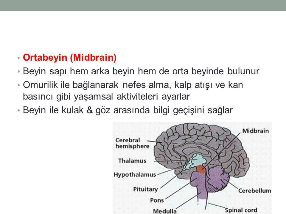 Ortabeyin (Midbrain) Beyin sapı hem arka beyin hem de orta beyinde bulunur.