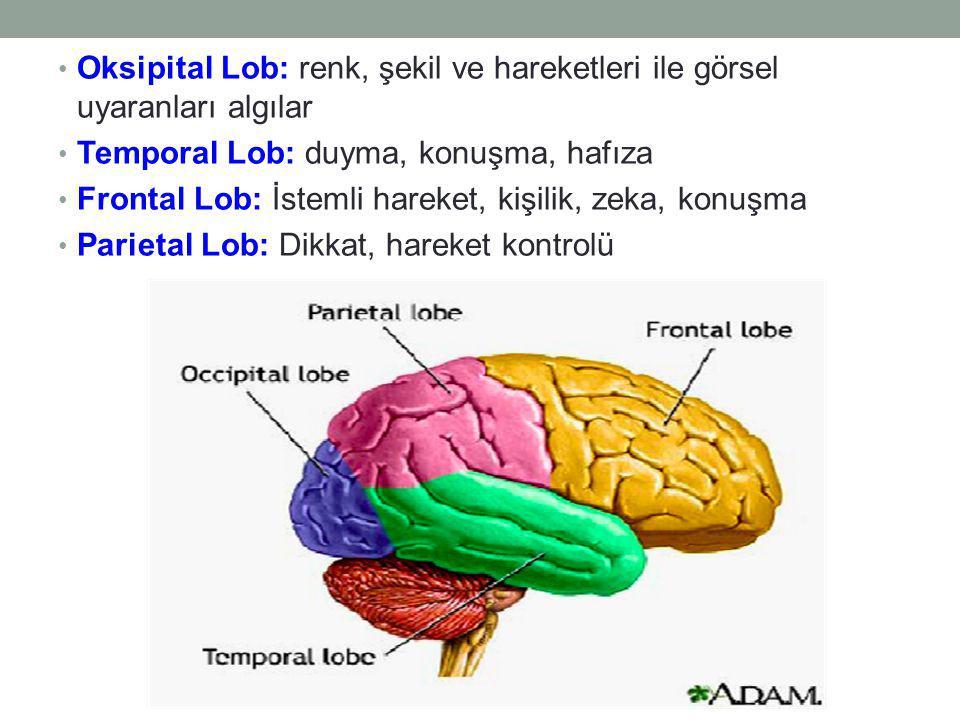 Oksipital Lob: renk, şekil ve hareketleri ile görsel uyaranları algılar