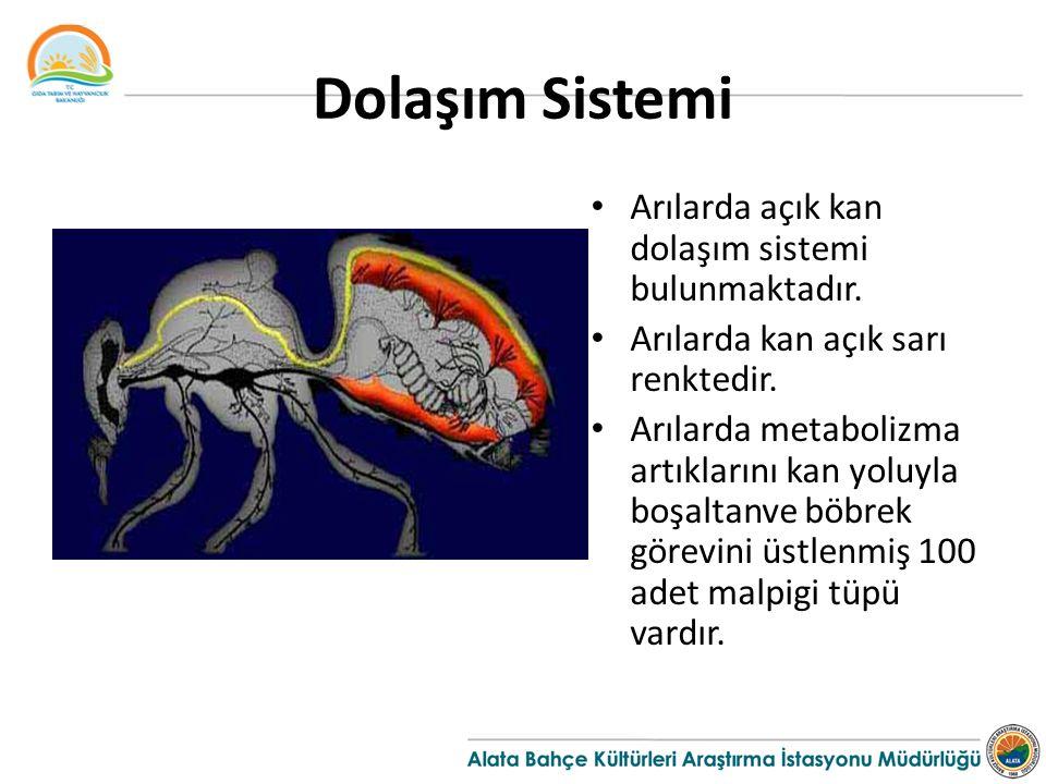 Dolaşım Sistemi Arılarda açık kan dolaşım sistemi bulunmaktadır.