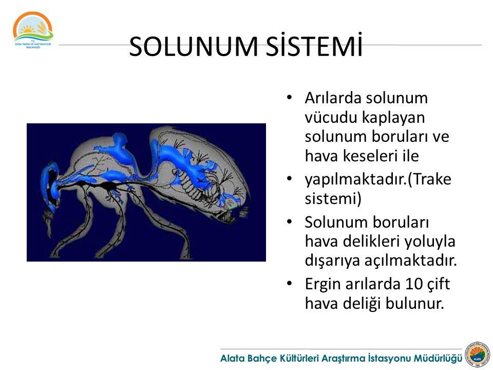 SOLUNUM SİSTEMİ Arılarda solunum vücudu kaplayan solunum boruları ve hava keseleri ile. yapılmaktadır.(Trake sistemi)