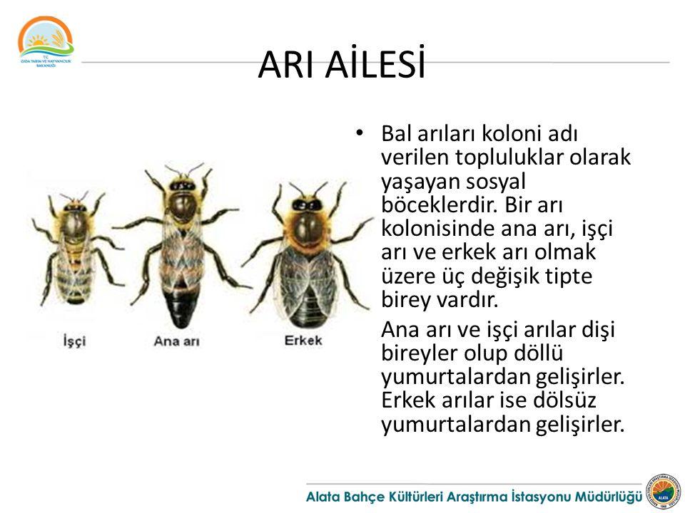 ARI AİLESİ