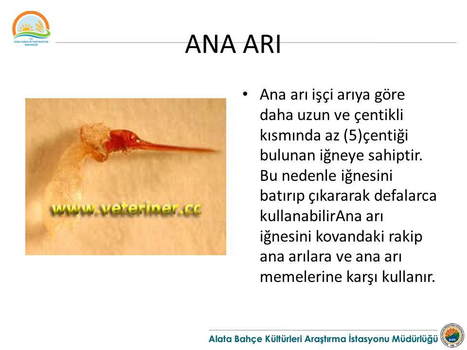 ANA ARI