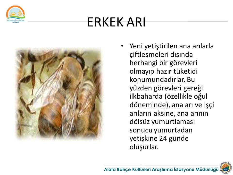 ERKEK ARI