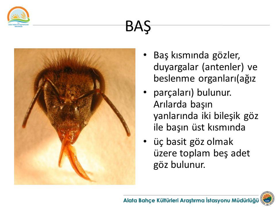 BAŞ Baş kısmında gözler, duyargalar (antenler) ve beslenme organları(ağız.