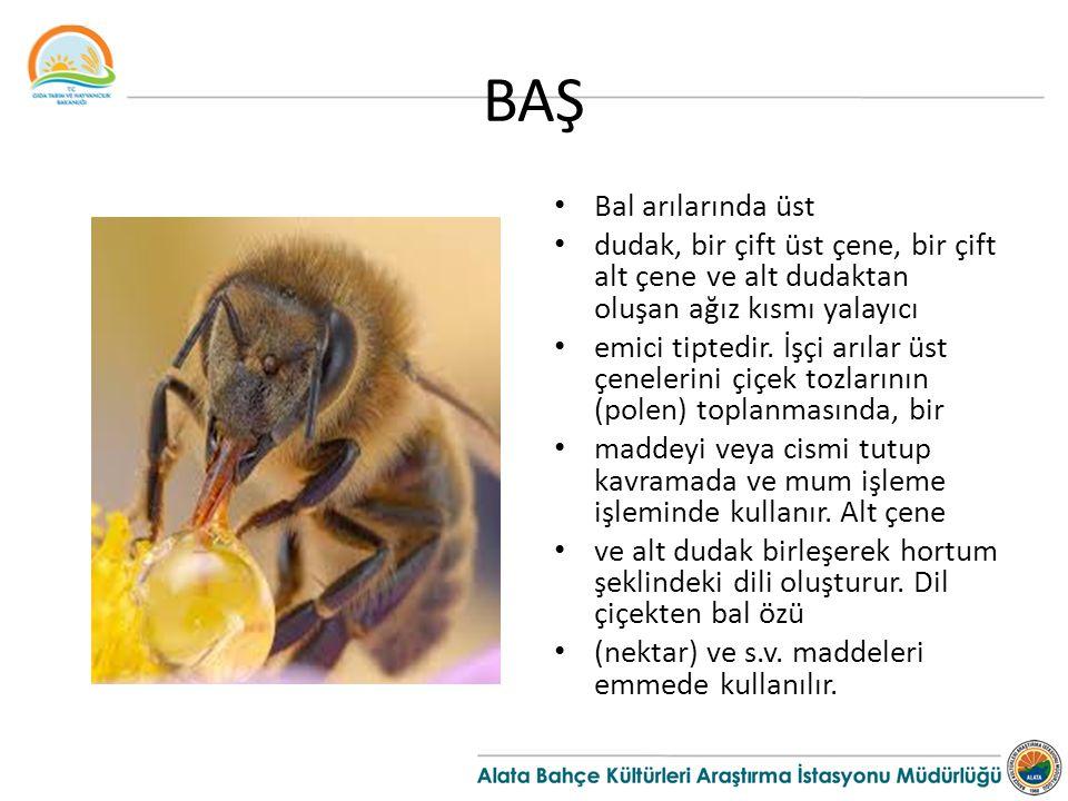 BAŞ Bal arılarında üst. dudak, bir çift üst çene, bir çift alt çene ve alt dudaktan oluşan ağız kısmı yalayıcı.