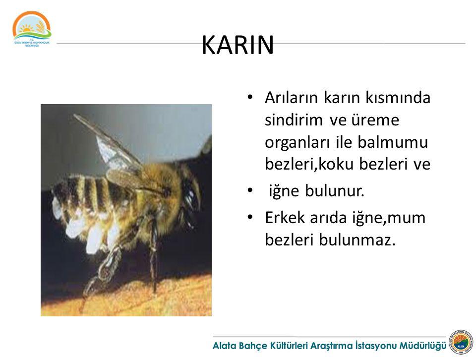 KARIN Arıların karın kısmında sindirim ve üreme organları ile balmumu bezleri,koku bezleri ve. iğne bulunur.