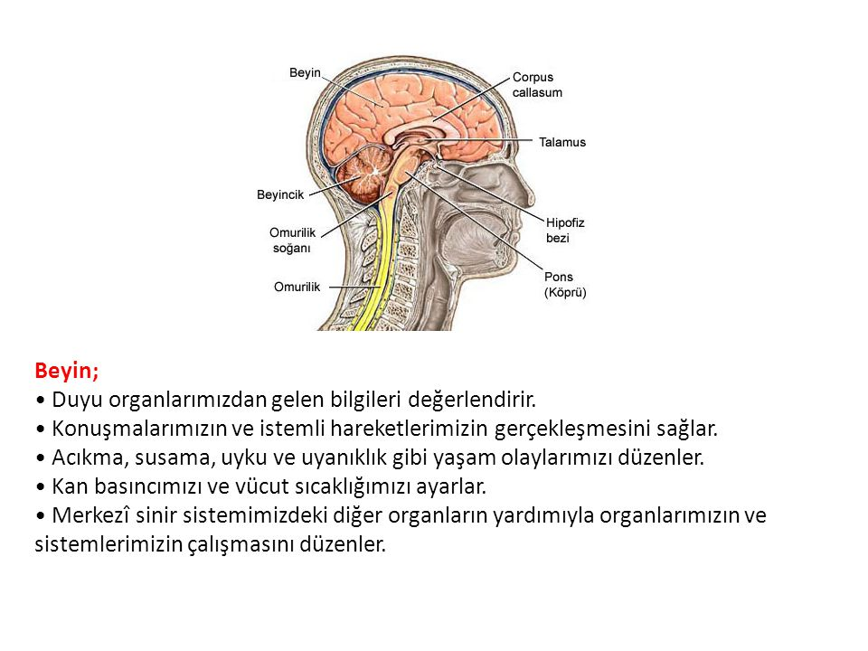 Beyin; • Duyu organlarımızdan gelen bilgileri değerlendirir