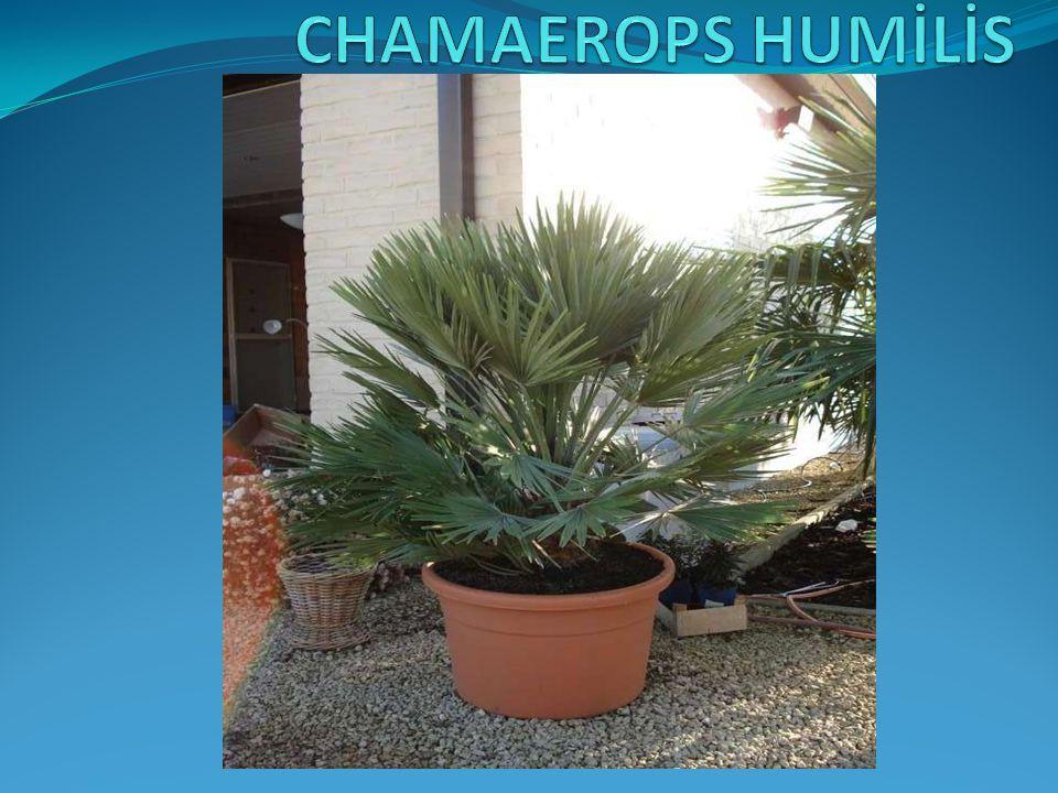 CHAMAEROPS HUMİLİS