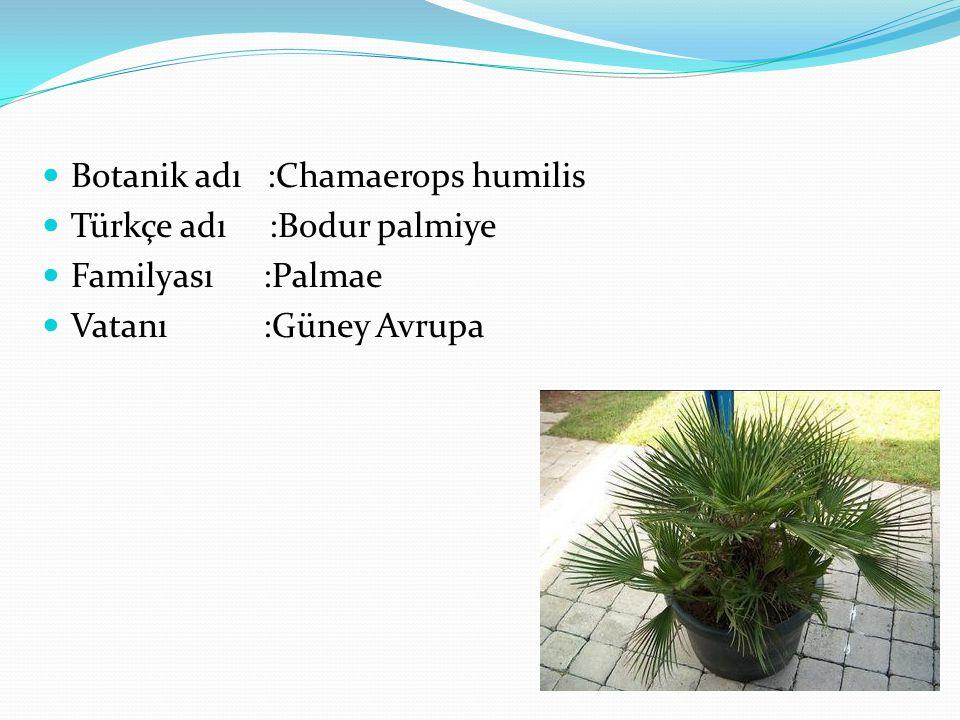 Botanik adı :Chamaerops humilis
