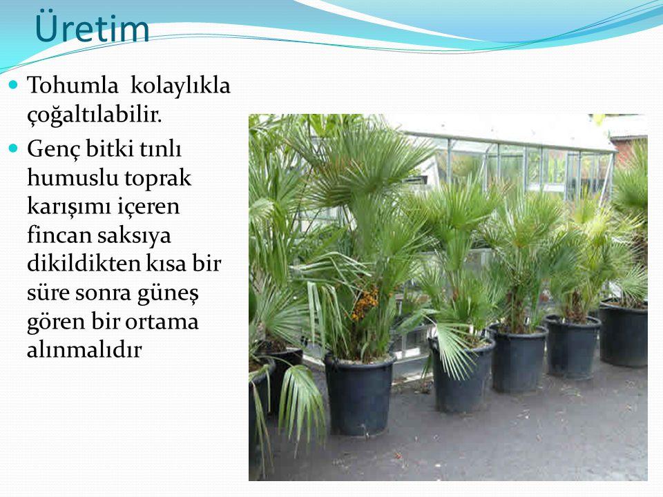 Üretim Tohumla kolaylıkla çoğaltılabilir.