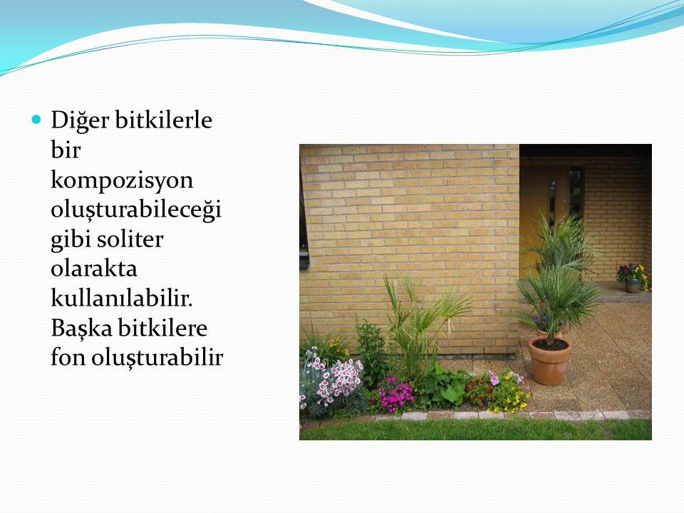 Diğer bitkilerle bir kompozisyon oluşturabileceği gibi soliter olarakta kullanılabilir.