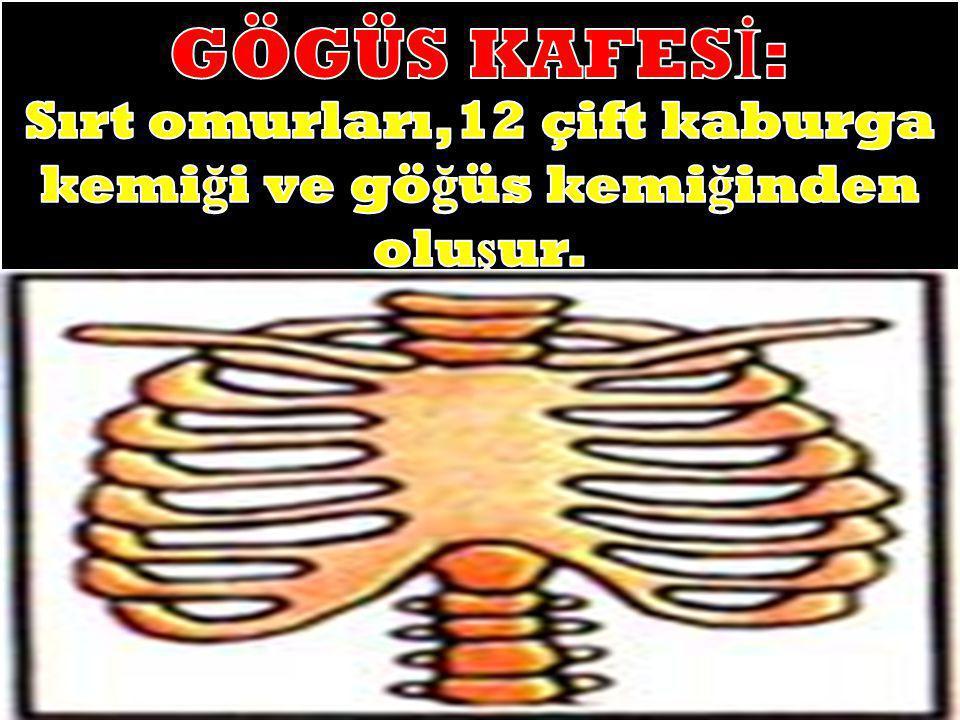 Sırt omurları,12 çift kaburga kemiği ve göğüs kemiğinden oluşur.