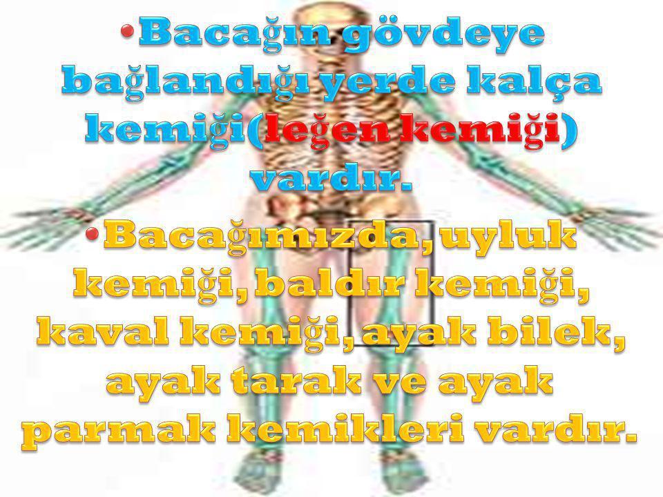 •Bacağın gövdeye bağlandığı yerde kalça kemiği(leğen kemiği) vardır.
