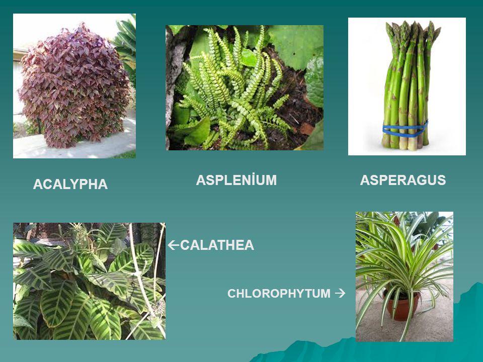 ASPLENİUM ASPERAGUS ACALYPHA CALATHEA CHLOROPHYTUM 