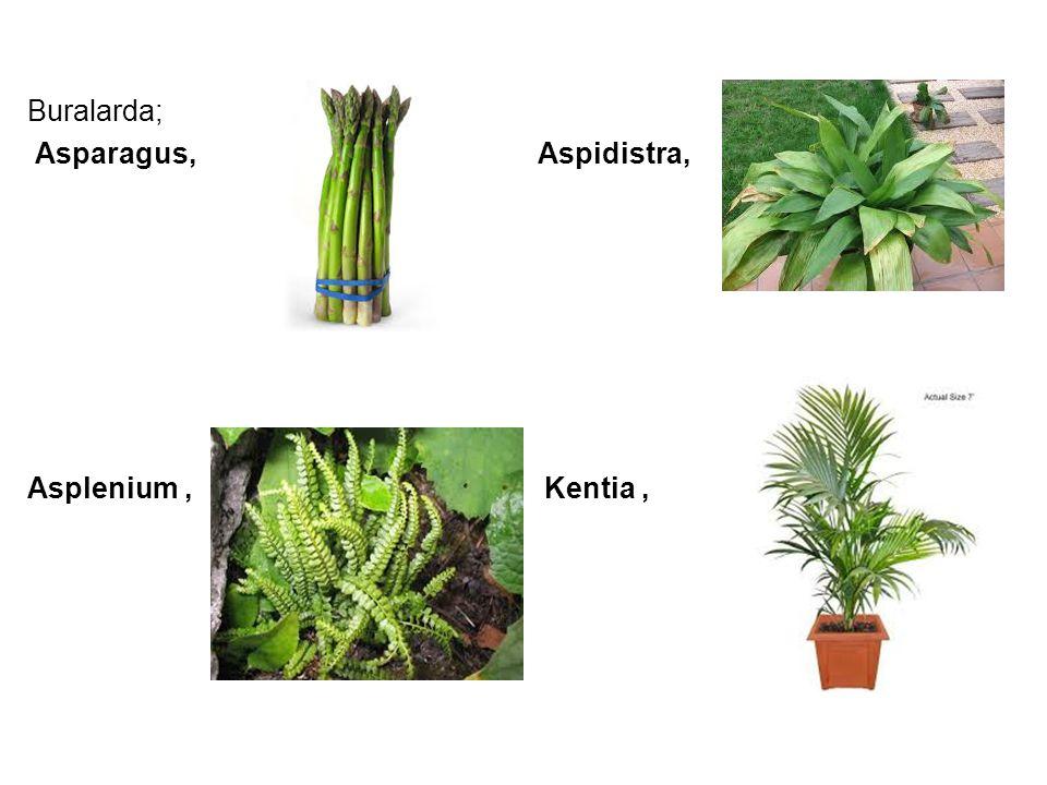 Buralarda; Asparagus, Aspidistra, Asplenium , Kentia ,