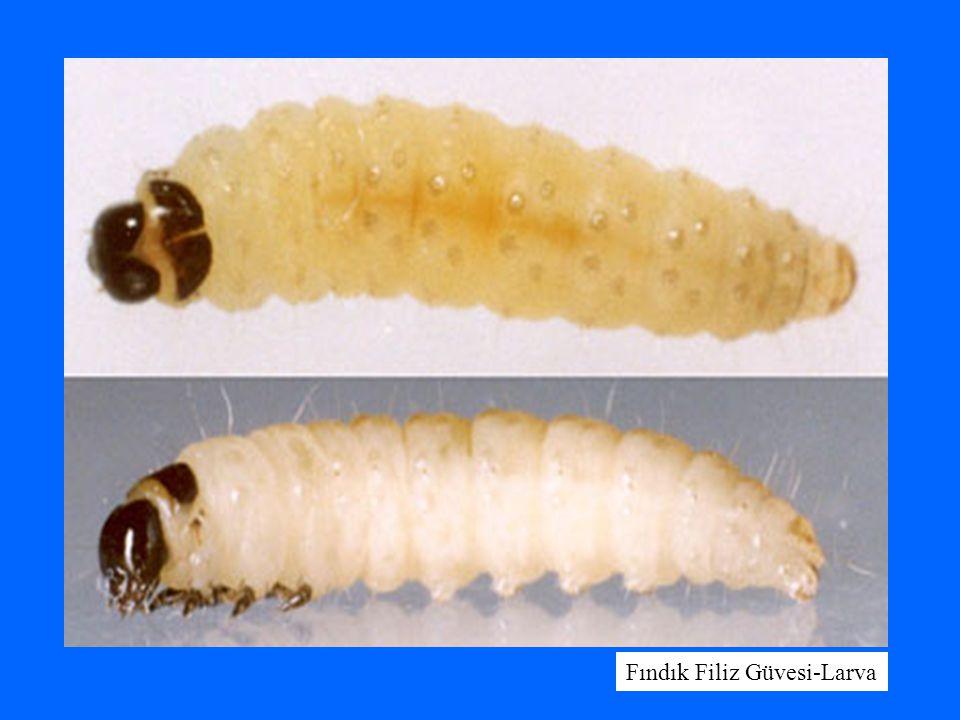 Fındık Filiz Güvesi-Larva