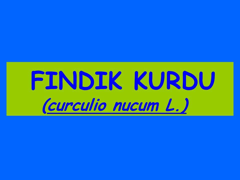FINDIK KURDU (curculio nucum L.)