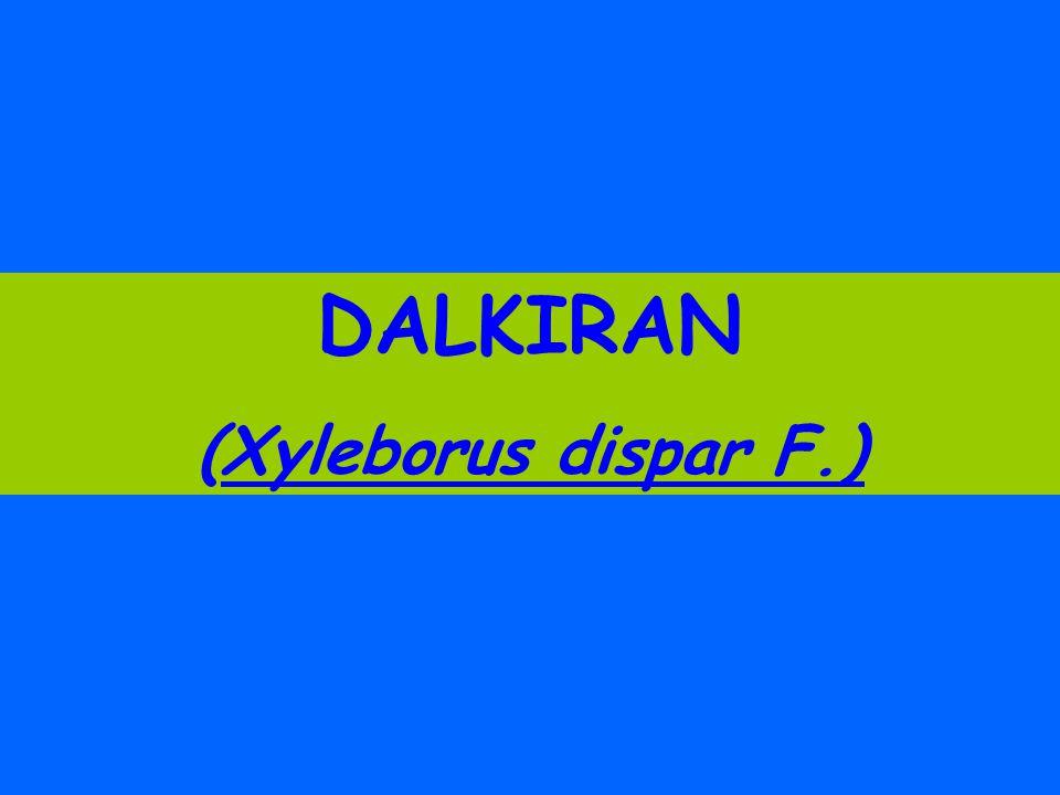 DALKIRAN (Xyleborus dispar F.)