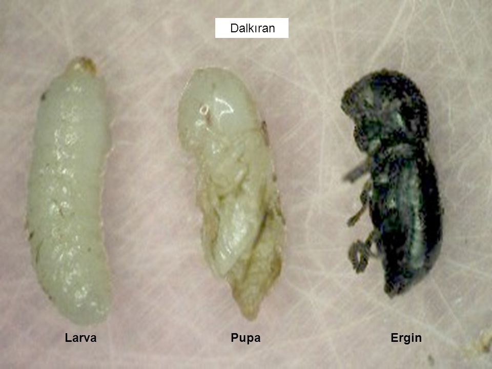 Dalkıran Larva Pupa Ergin.