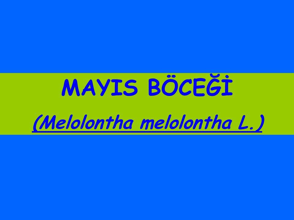 (Melolontha melolontha L.)