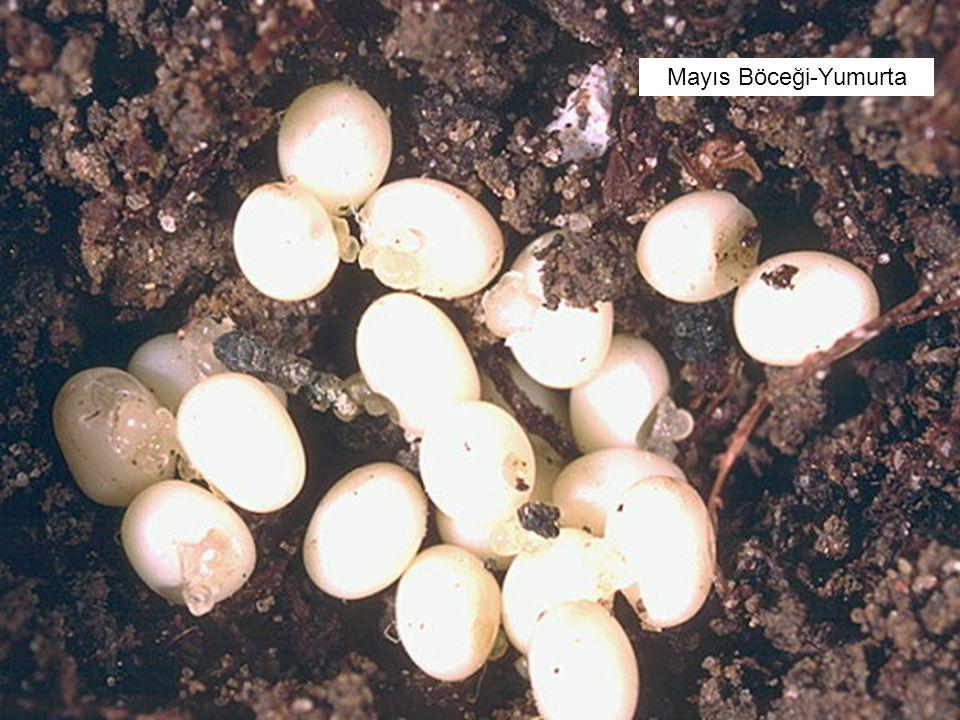 Mayıs Böceği-Yumurta