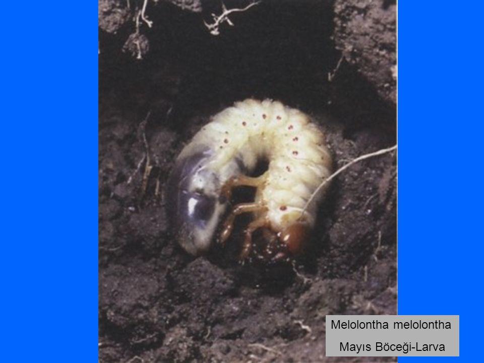 Melolontha melolontha