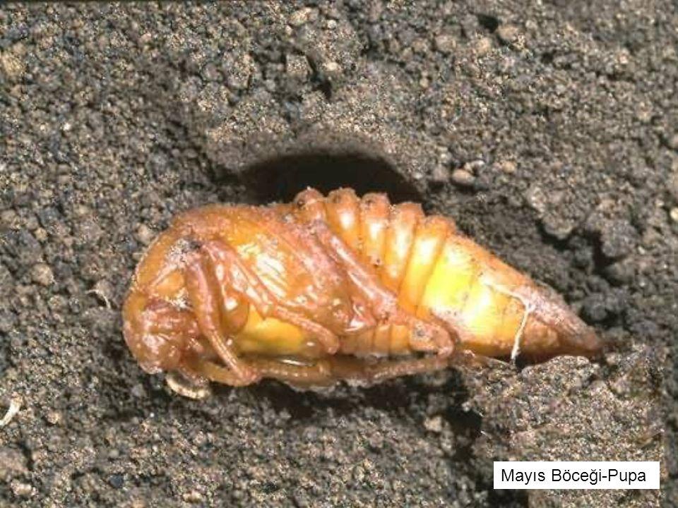 Mayıs Böceği-Pupa