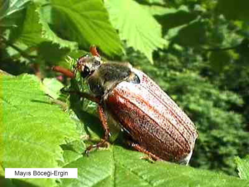 Mayıs Böceği-Ergin