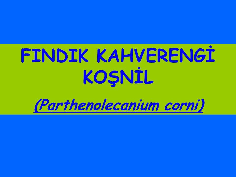 FINDIK KAHVERENGİ KOŞNİL (Parthenolecanium corni)