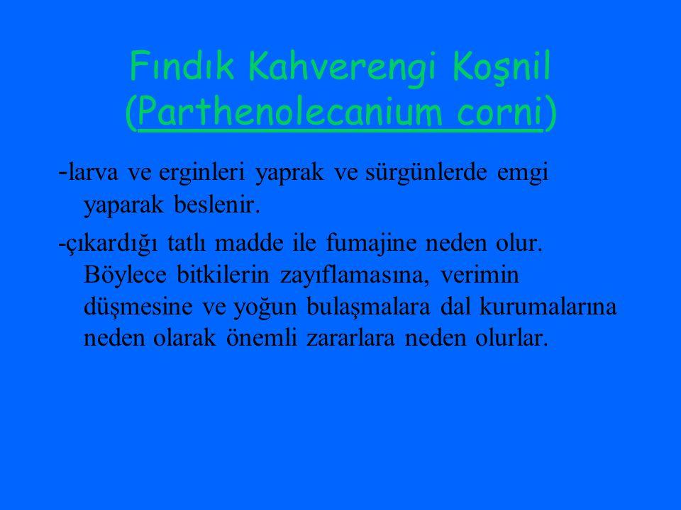 Fındık Kahverengi Koşnil (Parthenolecanium corni)